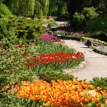 Each May, the RBG in Burlington brings in over 150,000 Tulips of different varieties to display.